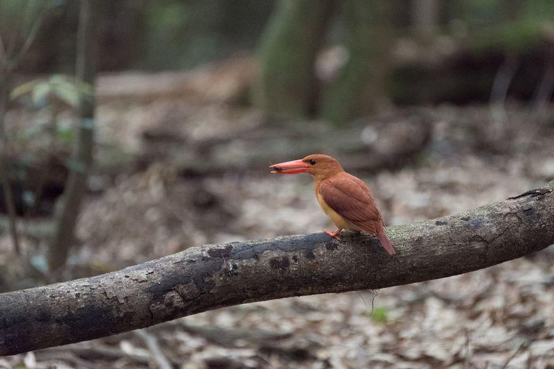 Nature EyeEm Nature Lover Japan Bird Birds Ruddy Kingfisher Bird Photography アカショウビン