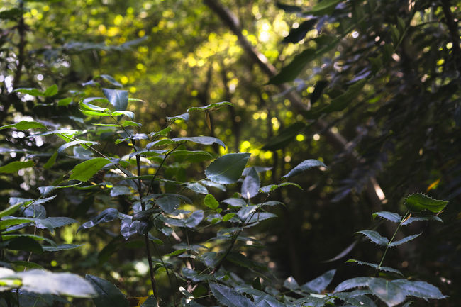 Forest atmosphere Beauty In Nature Branch Close-up Day Environment Focus On Foreground Forest Green Color Leaf Leaves Nature No People Outdoors Plant Sunlight Tranquility Tree