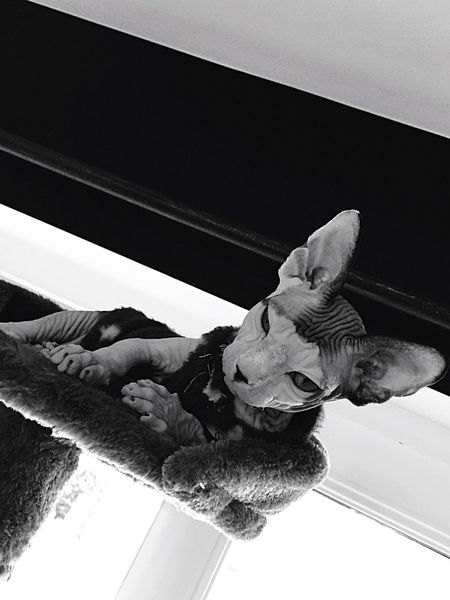 Sphynxcat lucette Animal