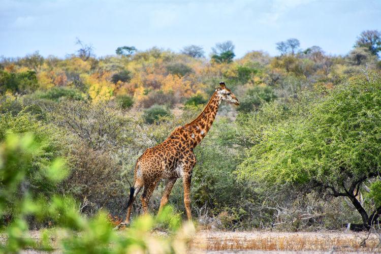 Giraffe standing on ground in forest
