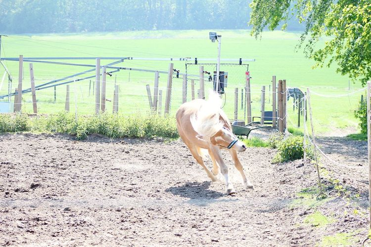 Crazy horse Haflinger Horse Mane Pony Summer Pets Full Length Sky Paddock Horse Animal Pen