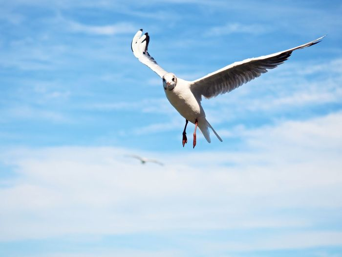 Sea gull in blue sky. wild seagull bird flies and looking into camera. blue sky over the sea.