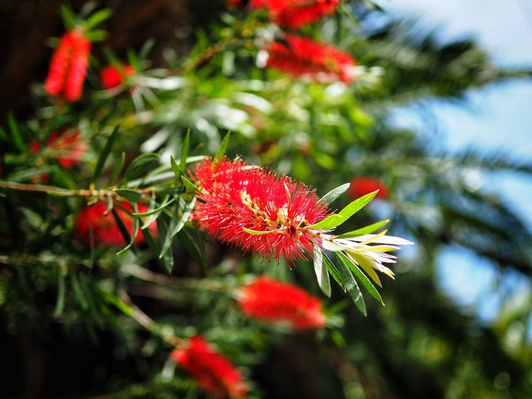 Bottlebrush in flower Growth Flower Nature Red Beauty In Nature Plant Fragility Focus On Foreground Green Color No People Day Petal Flower Head Freshness Outdoors Close-up Springtime Leaf Blooming Tree Bottlebrush Flower Bottlebrush Tree Australian Flower Australian Flora Callistemon