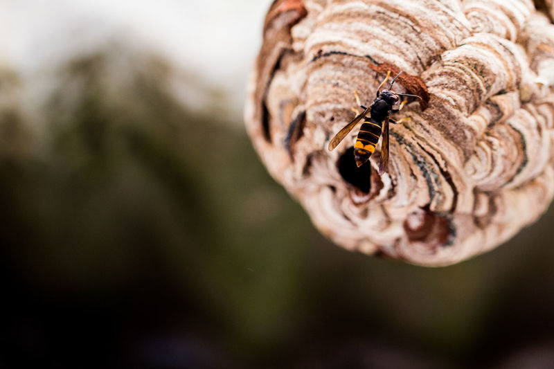 Vespa velutina and nest Animal Wildlife Asian Wasp Nest Close-up Focus On Foreground Insect Nature No People One Animal Wasp