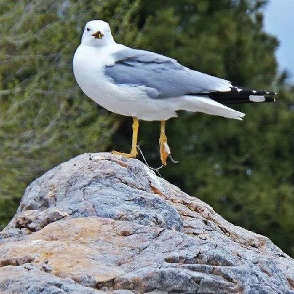 I don't like seagulls, but I felt really bad for this guy because he only has one good leg thanks to the string tied up around his other leg Injuredbird CanyonFerry Helena Montana fishing