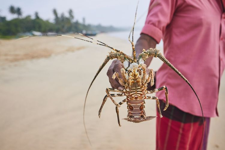 Fishing in Sri Lanka. Fisherman showing freshly caught lobster. Fishing Fisherman Lobster Catch Catching Man Real People One Person Focus On Foreground Holding Showing One Animal Close-up Nature Hand Sri Lanka Beach Sea Animal Food Freshness Success People Nature Coastline