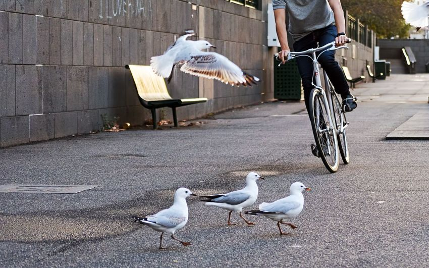 Low Section Of Man Riding Bicycle While Seagulls On Street