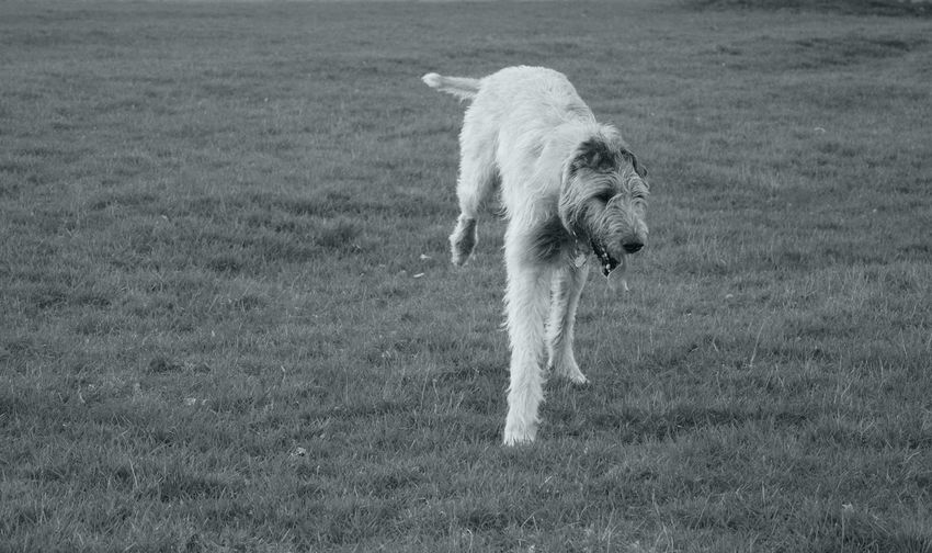 Monochrome Blackandwhite Dog Grass Cearnaigh Domestic Animals Irish Wolfhound Dogs Of Spring Dogs Of EyeEm Dog Of The Day Dogwalk Dogslife A Walk In The Park Herrenkrugpark March 2017 Spring 2017 Animal Themes Outdoors