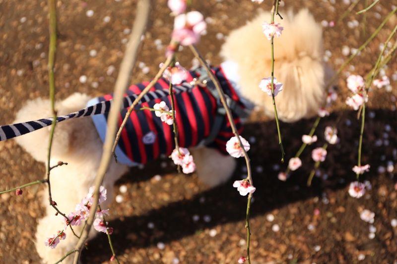 Dogs I Love My Dog My Toypoodle Toypoodle Cute Pets Japan Japon Japanese Culture Ohanami DogLove