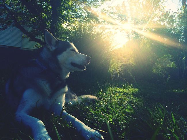 Sadie in the sun Husky