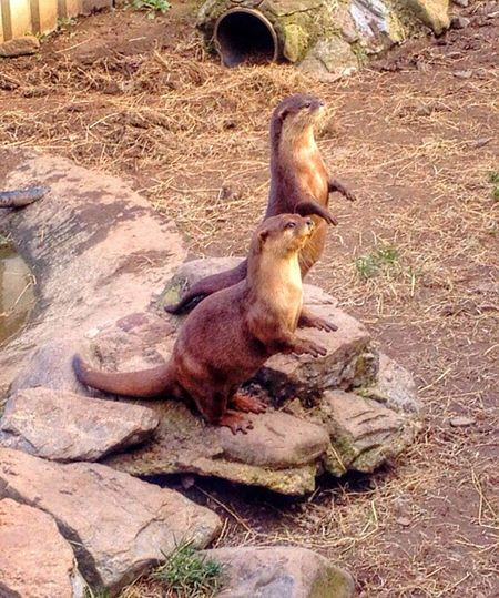 Two otters at feeding time. Otters Animals Nature Cute