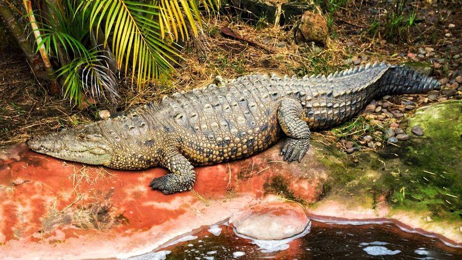 Reptile Animals In The Wild Animal Wildlife Vertebrate One Animal Animal Themes Animal Crocodile Nature Lizard No People Day Alligator