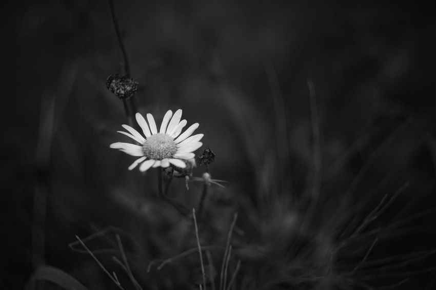 Uzuki Of The Flower Capture The Moment Darkness And Beauty Blackandwhite Fragility Flower Depth Of Field Selective Focus Flower Head Beauty In Nature No People Darkness Fine Art Photography Getting Inspired Monochrome Growth Petal Close-up Full Frame Detail SONY A7ii Oldlens INDUSTAR EyeEm Best Shots 17_10 Black And White Friday