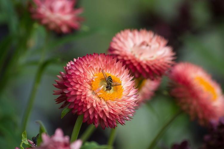 Bee Beeandflower Nature Nature_collection Nature Photography Honey Bee Pink Pink Color Pink Flower Flowers Flowers,Plants & Garden