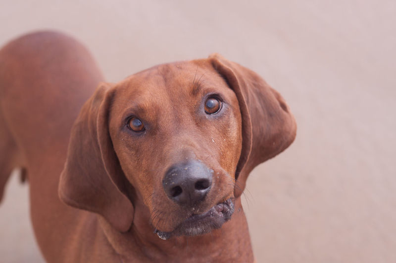 Animal Head  Animal Photography Animal Themes Brown Close-up Cute Dog  Cute Pets Cutedogface Dog Domestic Animals Focus On Foreground Looking At Camera Loyalty Mammal No People One Animal Pampered Pets Pets Portrait Redbone Coonhound Snout Zoology