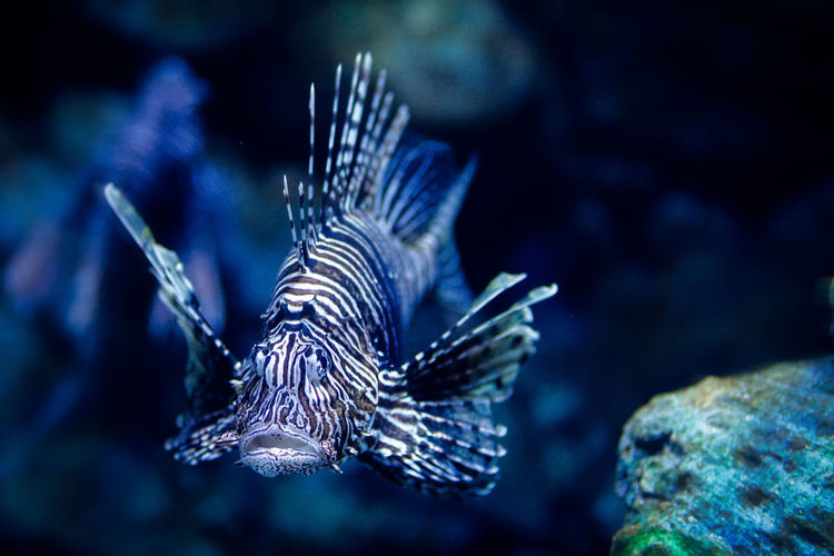 Lionfish in tank