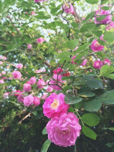 蔷薇 想在家里种上满树的蔷薇