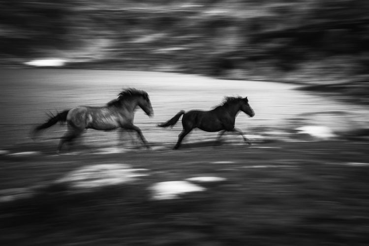 Penning shot of two horse running in Retezat mountains, Romania. Couple Farm Field Free Freedom Nature Running Rural Animal Beauty Black Black And White Blurred Motion Domestic Animals Horse Lake Mammal Motion Mountain Mountain Range Outdoor Panning Speed Two Two Animals Black And White Friday