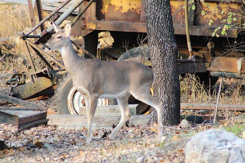 hello deer Deersighting Deer Moments EyeEm Selects Animal Themes