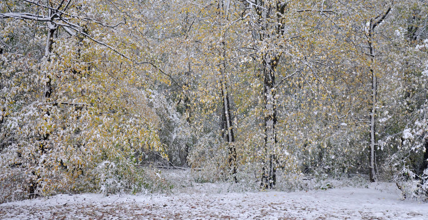 Autumn Leaves Beech Trees Cold Temperature Damaged And Wrecked Early Snowfall Foliage Forest Nature Snow Bending Branches Snow On Branches