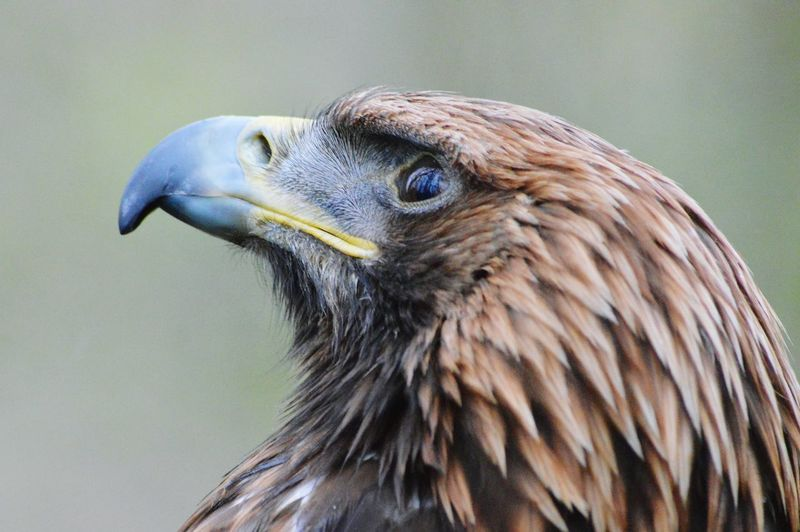 Eagle Portrait Hunter Deceptively Simple Showcase: February EyeEm Best Shots - Nature Nature Photography Wildlife Photography Birds Of Prey Birdwatching Bird Photography Wildlife & Nature Raptor Golden Eagle Eagle Power In Nature Close-up Beak Feathers Macro Beauty Lookingup