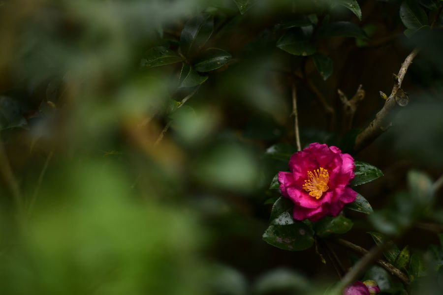 Camellia Camellia EyeEm Best Shots EyeEm Nature Lover EyeEm Gallery Eyeem4photography Beauty In Nature Flower Flower Head Pink Color Botanical Garden Close-up Plant Flowering Plant In Bloom Botany