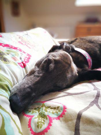Pets Animal Themes Greyhound Dog