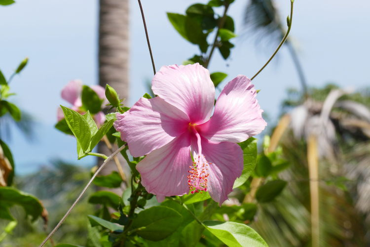 Flowering Plant Flower Freshness Plant Petal Beauty In Nature Inflorescence Vulnerability  Focus On Foreground No People Pink Color Flower Head Close-up Day Plant Part Nature Growth Fragility Pollen Leaf Roseneibisch Hibiscus Flower Flowering Plant Flowers In Thailand Blooming Tropical Climate