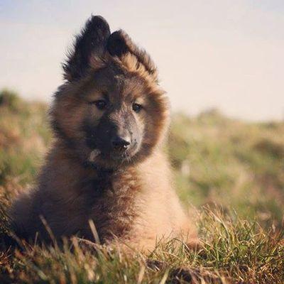 Jederliebtwelpen Voreinemjahr Belgischerschäferhund BelgianShepherd Everyonelovespuppies Puppy PuppyLove Tervueren