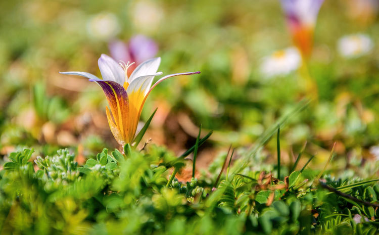 Flower Flowering Plant Plant Freshness Beauty In Nature Fragility Vulnerability  Petal Growth Close-up Selective Focus Flower Head Inflorescence Nature Green Color Land Day Field No People Botany Outdoors Springtime Crocus Ornamental Garden