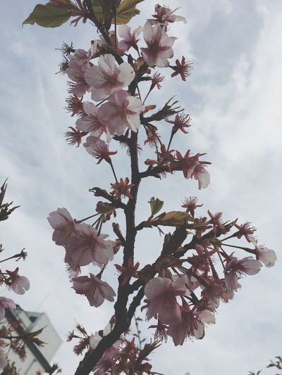 Sky Tree Nature Low Angle View Flower Growth Beauty In Nature Fragility Blossom Outdoors No People Close-up Day Cloud - Sky Branch Freshness Iphonephotography
