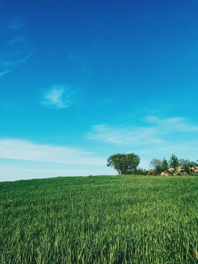 Agriculture Field Growth Blue Nature Farm Crop  Landscape Sky Rural Scene Tranquil Scene Beauty In Nature Scenics No People Green Color Day Cereal Plant Outdoors Tree
