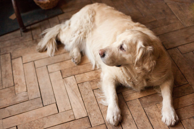 Calm Dogs Domestic Life Golden Retriever Home Light Love Ochre Animal Themes Comfort Comfortable Cozy Day Dog Domestic Animals Hardwood Floor Home Interior Indoors  Mammal No People One Animal Pastel Pets Sporting Dog Wood - Material
