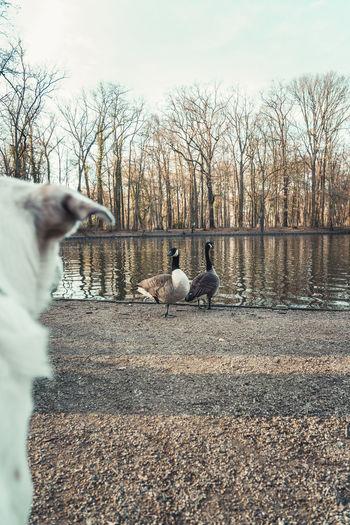 White dog watching two geese at a pond in Cologne, Germany Vertebrate Group Of Animals Bird Animal Animal Themes Animals In The Wild Animal Wildlife Day Tree Nature No People Outdoors Sky Plant Two Animals Water Goose Bare Tree Flying Dog Watching Lurking Hunting
