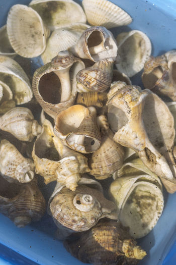 Food Food And Drink Seafood Animal Wildlife Animal Freshness Healthy Eating Wellbeing Shell Animal Shell Close-up Indoors  No People Large Group Of Objects High Angle View Animal Themes Sea Seashell Abundance Day Marine Tray