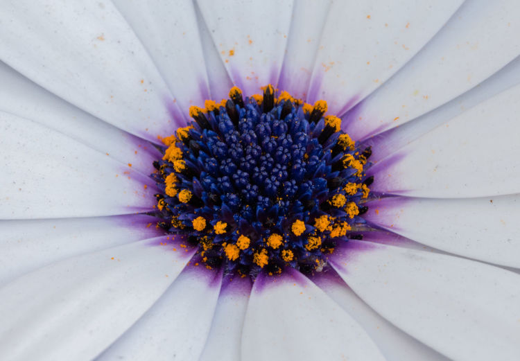 Maximum Closeness Pollen Flower Nature Blue Beauty In Nature Flower Head Close-up Macro Fragility Purple Petal Outdoors Day