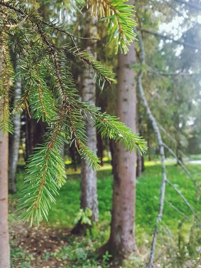 Close-up of pine tree in forest