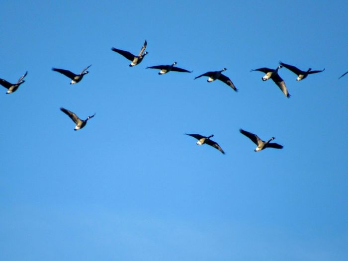 Blue Wave Bird Fly Team Quebec Oie Oiseau Voler Groupe Bernache Sky Ciel Blue Bleu