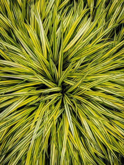 Unkempt Mainau Island Insel Mainau Shotoniphonex Green Color Growth Plant Leaf Plant Part Backgrounds Full Frame High Angle View Freshness Natural Pattern Beauty In Nature Nature Close-up