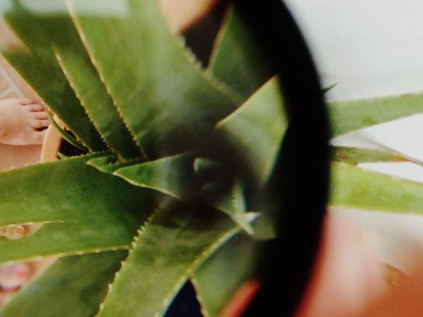 Split Lens Aloe Vera Plant