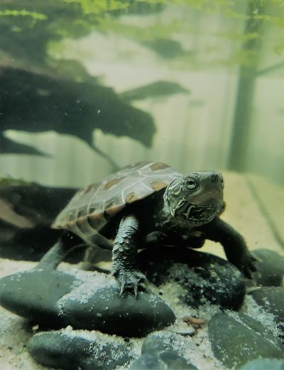 Marsi Marsimoto No People One Animal Reptile Sea Life Swimming Turtle Water