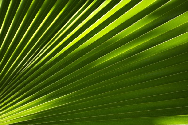 Palm Leaf Closeup. Nature Background. Palm Backgrounds Close-up Day Freshness Frond Green Color Growth Intricacy Leaf Nature No People Organic Outdoors Palm Leaf Palm Tree Satisfaction Striped Sunbeam Sunlight Textured  Tree Tropical Climate Vibrant Color