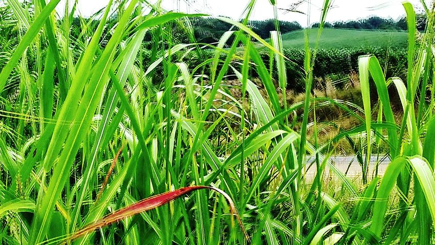 Growth Nature Plant Green Color Leaf Day Outdoors Grass Agriculture Freshness No People Beauty In Nature Close-up Water The Week On EyeEm