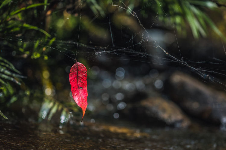 Close-Up Of Red Leaf In Water