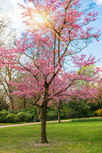 Pink cherry blossom tree in park
