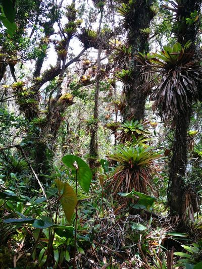 Bosque de bromelias Tree Nature Low Angle View Outdoors Forrest Photography Bromelia Tropical Plants