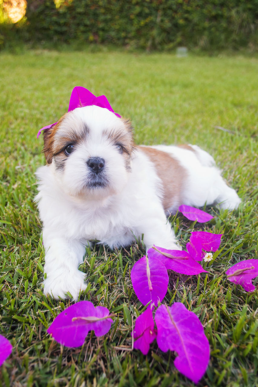domestic, one animal, pets, mammal, canine, dog, domestic animals, animal themes, animal, plant, grass, vertebrate, field, young animal, flower, nature, flowering plant, no people, puppy, close-up, pink color, small, purple, shih tzu