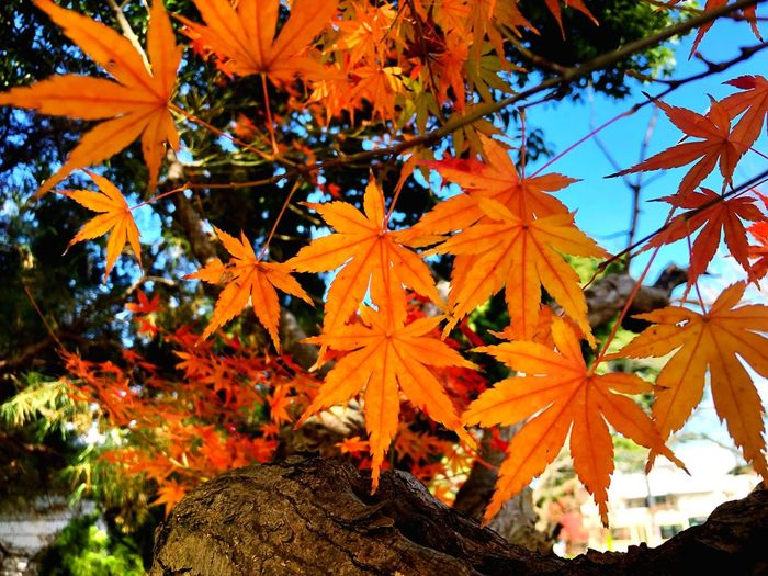 Plant Orange Color Leaf No People Plant Part Beauty In Nature Change Tree Maple Leaf Autumn Nature Growth Maple Tree Day Close-up Outdoors Leaves Red