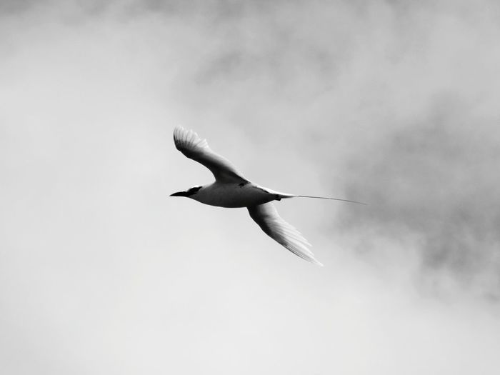 Soar Black And White Photography Black And White Playing With Filters Bird Birds Of EyeEm  Birds_collection Birds_collection Black & White Black And White Collection  Bird Spread Wings Flying Bird Of Prey Sky Animal Themes Cloud - Sky Avian Mid-air Sea Bird Animal Wing