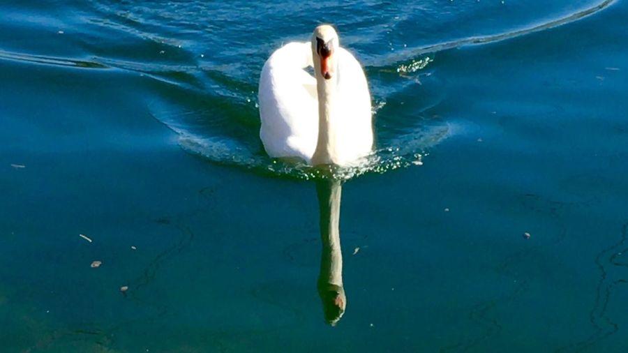 Swan Series Swantastic Swans ❤ Swans Swan Schwanenfamilie Schwäne Schwan  Spiegelungen Spiegelung Water Reflections